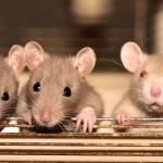 rat-4075129_640
